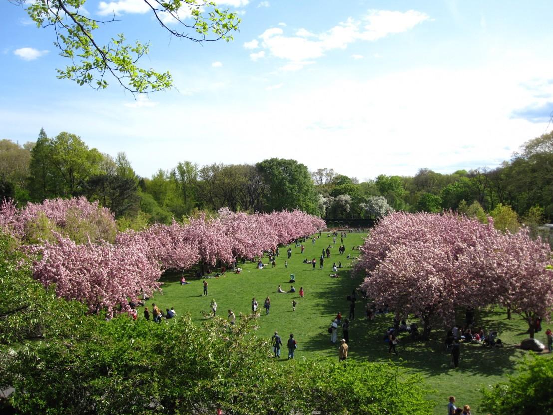 Cherry Blossom Festival BBG